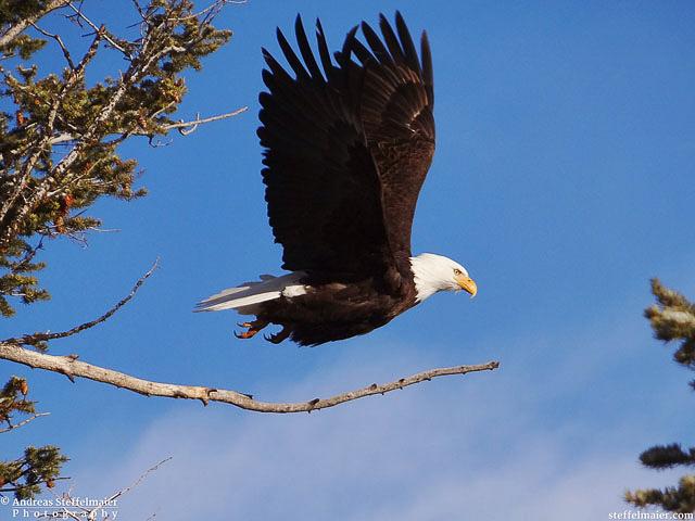 steffelmaier_eagle_tn